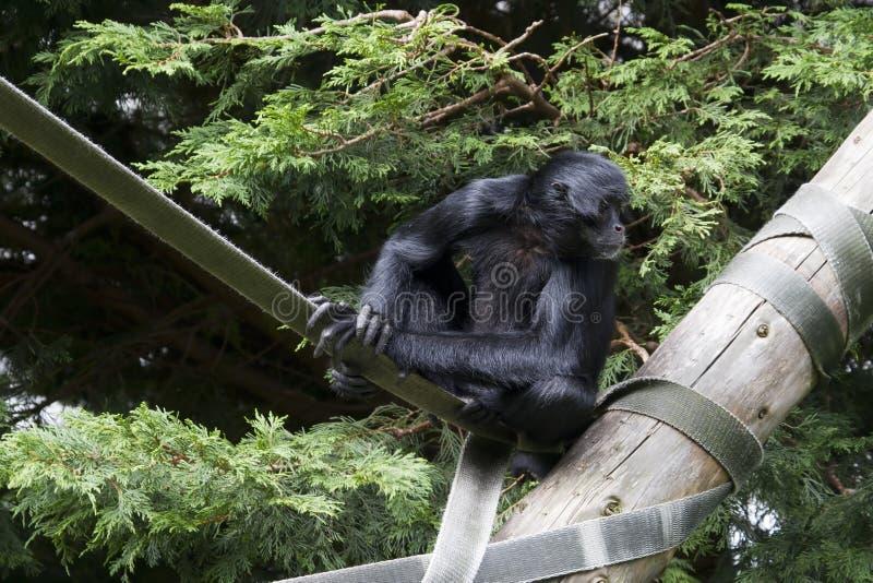 Scimmia di ragno nera (paniscus del Ateles) immagine stock libera da diritti