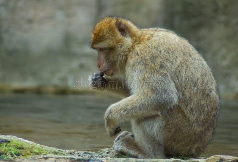 Scimmia di riposo di Berber immagine stock libera da diritti