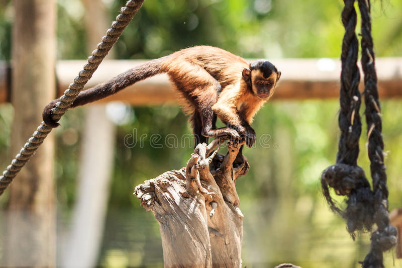 Scimmia di safari immagine stock