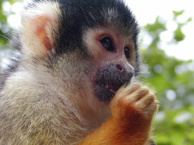 Download Scimmia di scoiattolo fotografia stock. Immagine di wildlife - 204446