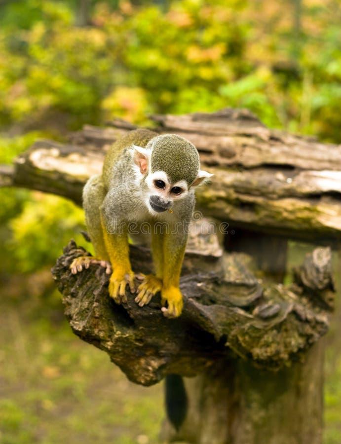 Scimmia di scoiattolo comune immagini stock