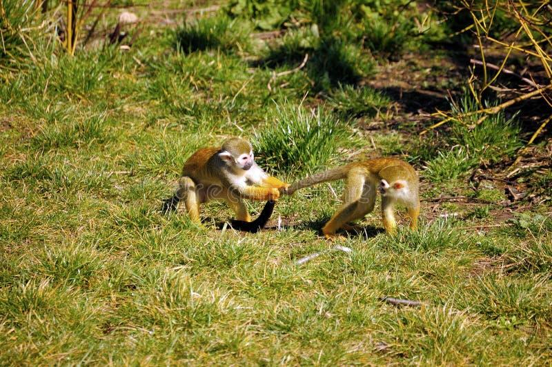 Scimmia di scoiattolo comune fotografia stock