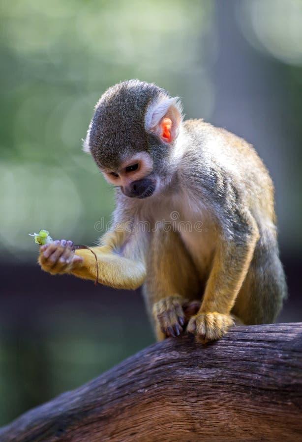 Scimmia di scoiattolo comune fotografia stock libera da diritti