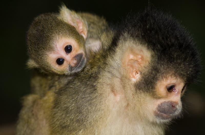 Scimmia di scoiattolo del bambino immagini stock libere da diritti