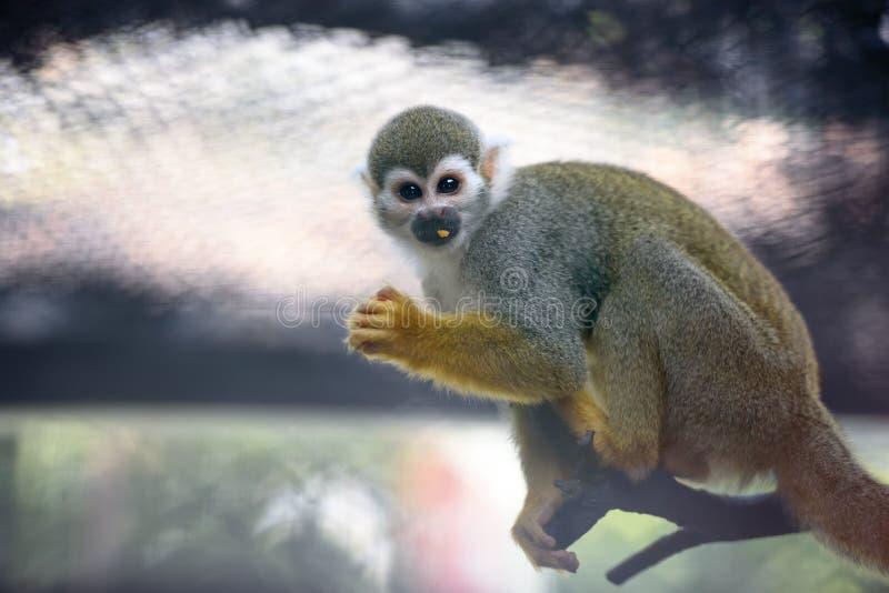 Scimmia di scoiattolo sveglia immagini stock