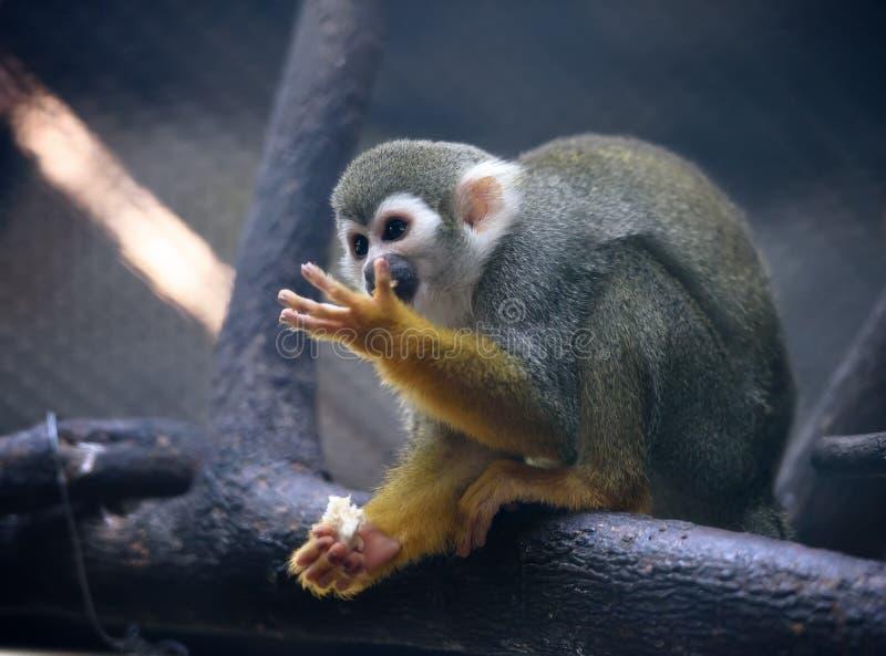 Scimmia di scoiattolo sveglia immagini stock libere da diritti