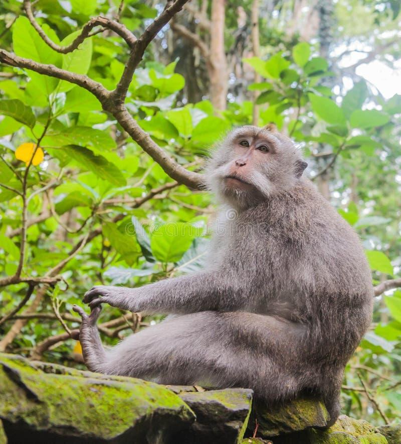 Scimmia di seduta immagine stock