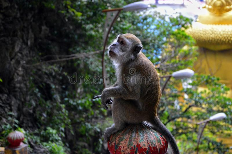 Scimmia di seduta che indica dito in Kuala Lumpur, Malesia immagini stock libere da diritti