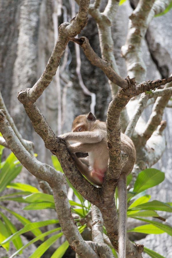 Scimmia di sonno a Wat Thum Kao Yoi immagine stock