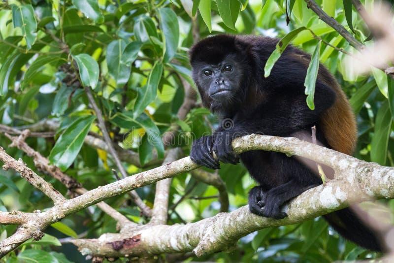 Scimmia di svarione in Costa Rica fotografie stock