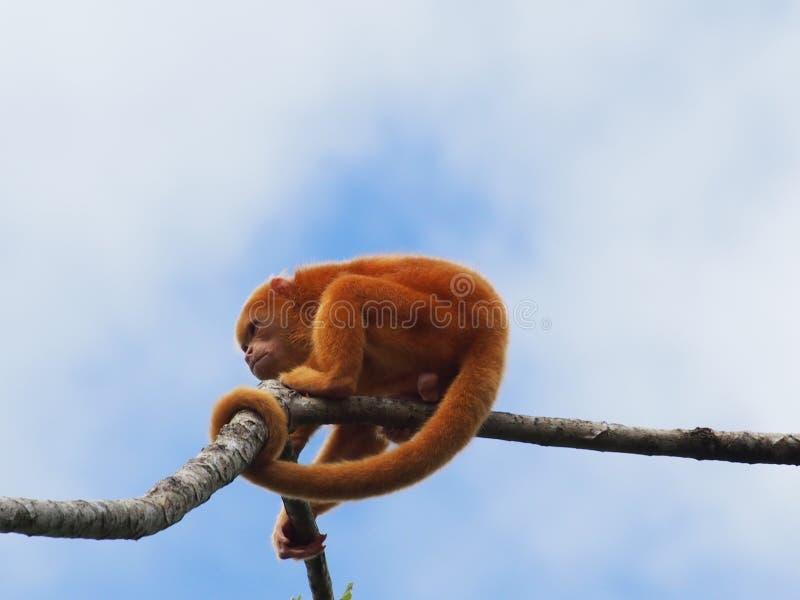 Scimmia di svarione in Costa Rica fotografia stock libera da diritti