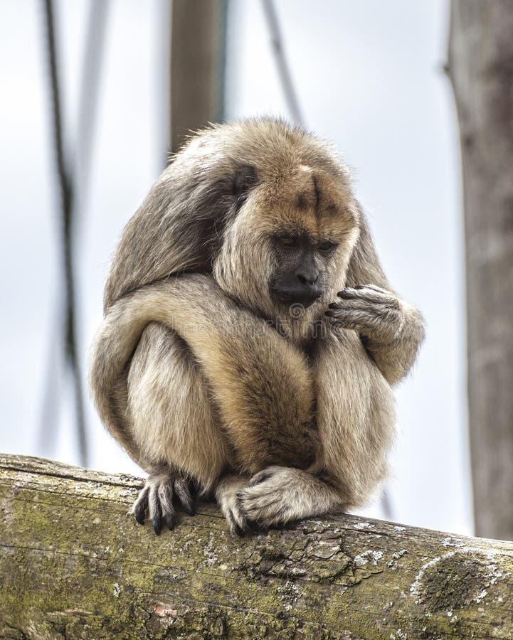 Scimmia di svarione della lettura della palma immagini stock