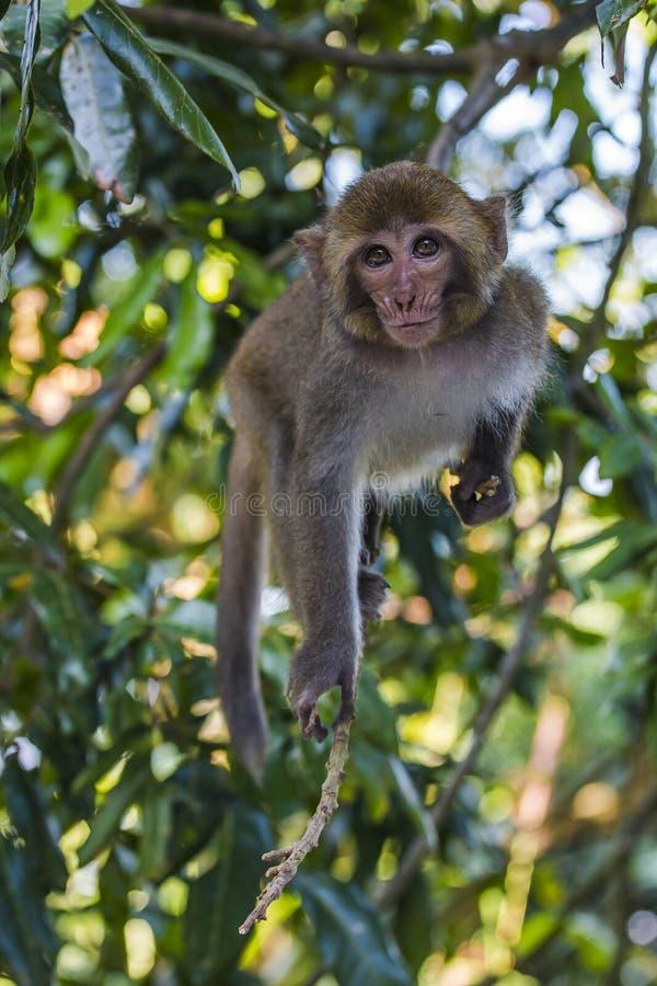 Scimmia di Tainan fotografie stock