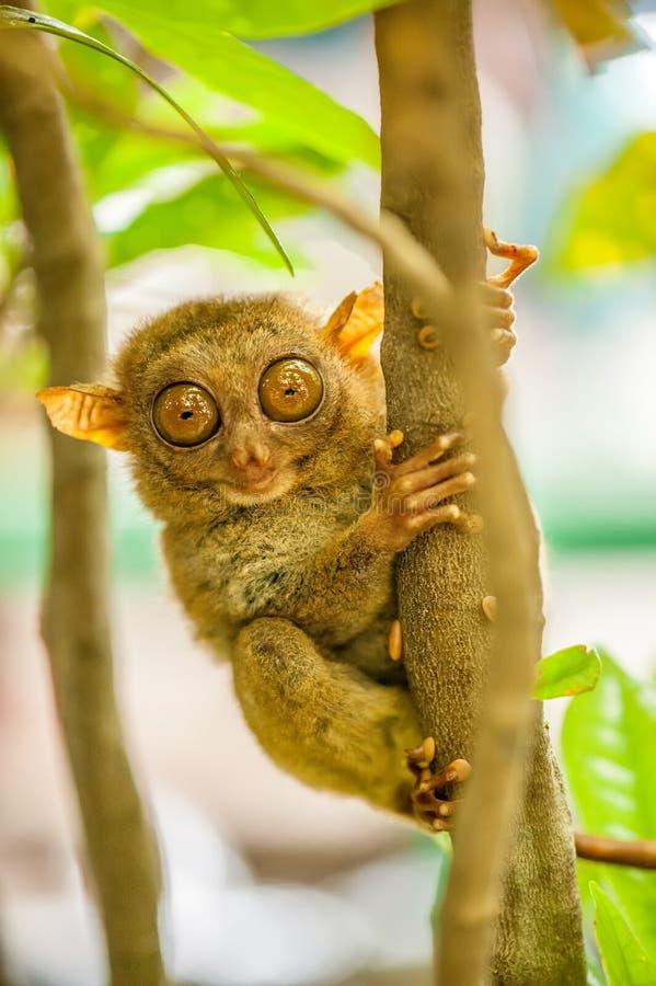 Scimmia di Tarsier nell'ambiente naturale fotografia stock libera da diritti