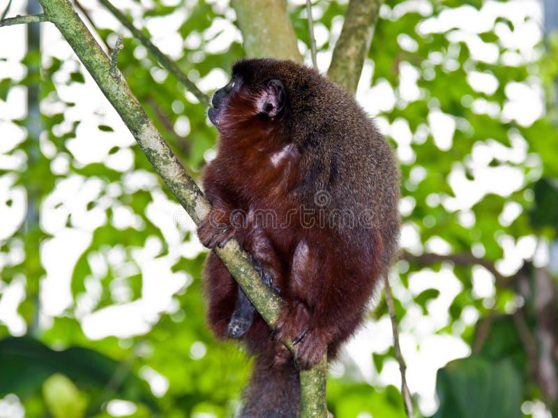 Scimmia di Titi oscura fotografie stock
