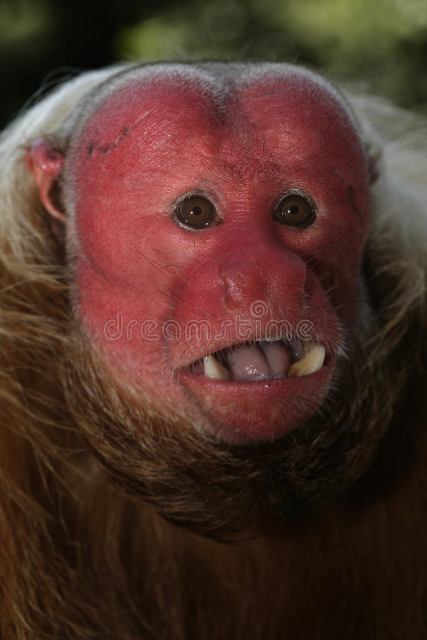Scimmia di Uakari, calvus del Cacajao, immagini stock libere da diritti