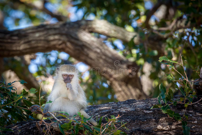 Scimmia di Vervet in albero, parco nazionale di Kruger, Sudafrica immagine stock