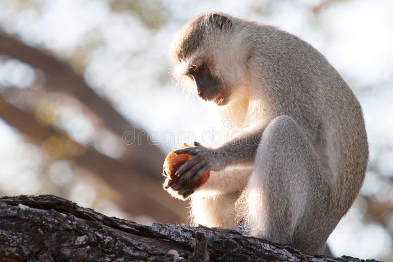 Scimmia di Vervet che mangia una focaccina fotografia stock
