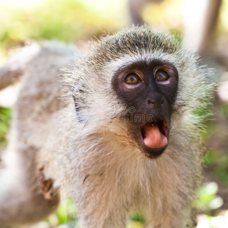 Scimmia di Vervet che sembra sorpresa immagine stock