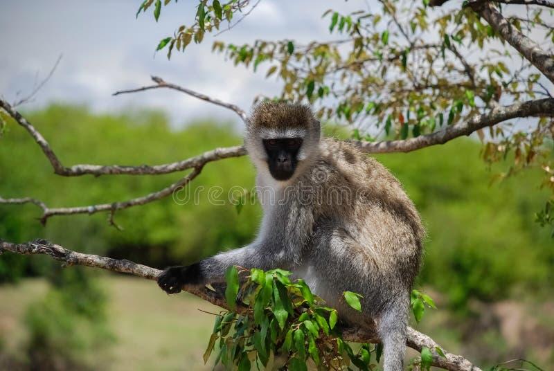 Scimmia di Vervet Maasai Mara National Reserve, parco nazionale fotografie stock libere da diritti
