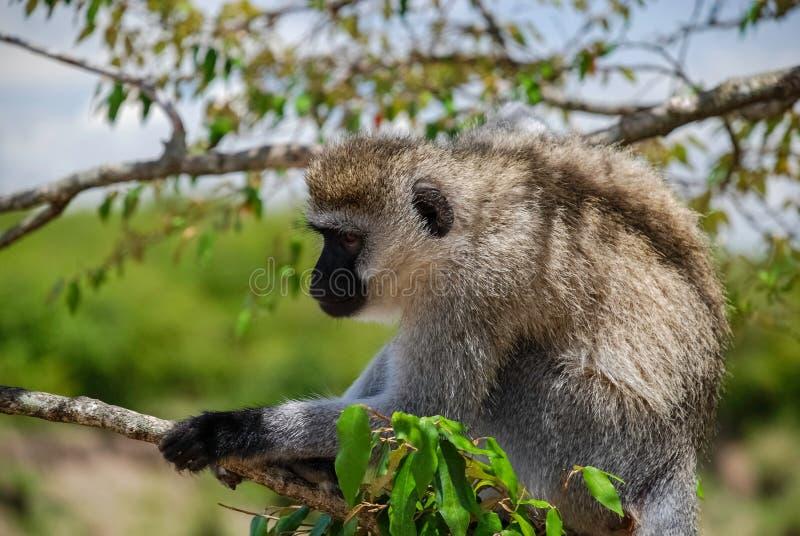 Scimmia di Vervet Maasai Mara National Reserve, parco nazionale Kenya fotografie stock