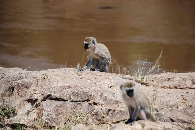 Scimmia di Vervet Maasai Mara National Reserve, parco nazionale Kenya fotografia stock