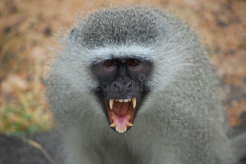 Scimmia di Vervet (pygerythrus di Chlorocebus) immagine stock