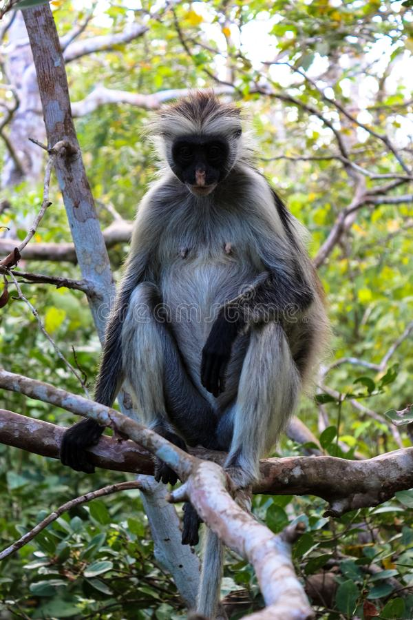 Scimmia di Zanzibar della foresta di Josani fotografia stock