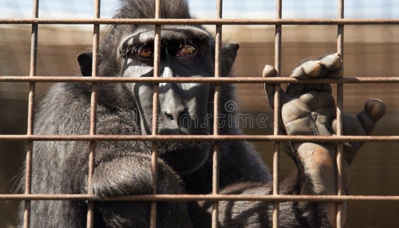 Scimmia dietro le barre dello zoo fotografia stock