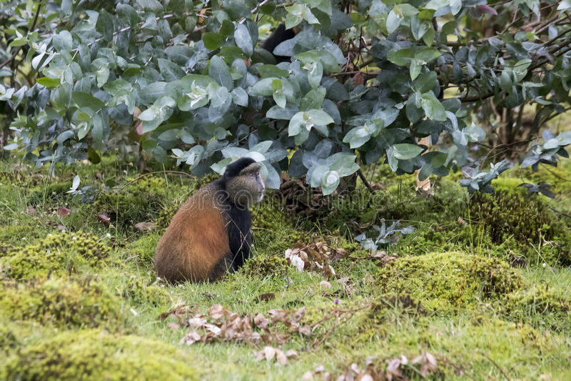 Scimmia dorata pericolosa nel campo, parco nazionale dei vulcani, Rwan fotografia stock