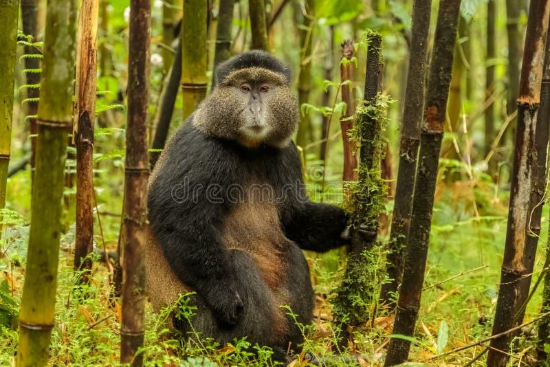 Scimmia dorata ruandese che si siede in mezzo alla foresta di bambù, RW fotografia stock