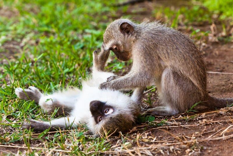 Scimmia due che gioca sulla terra fotografie stock libere da diritti