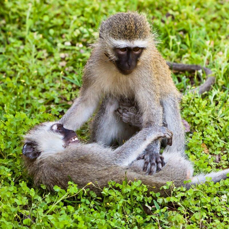 Scimmia due che gioca sulla terra immagini stock libere da diritti