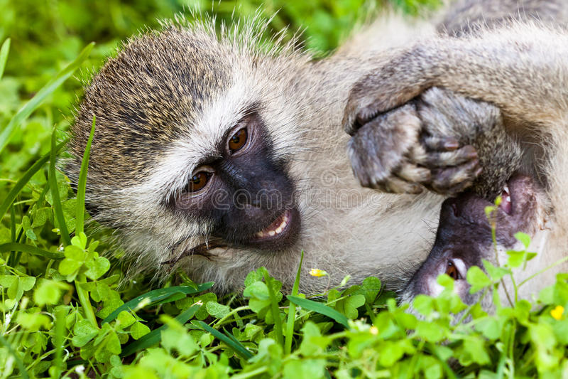 Scimmia due che gioca sulla terra fotografia stock libera da diritti