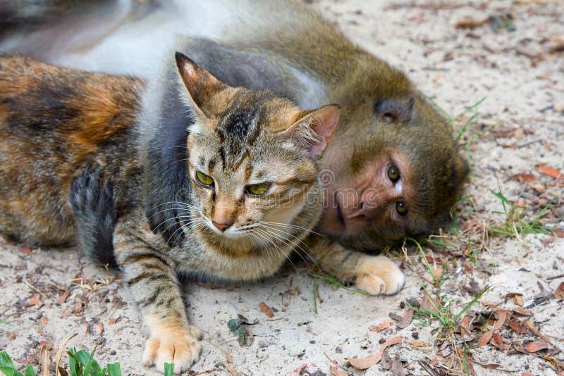 Scimmia e gatto fotografie stock libere da diritti
