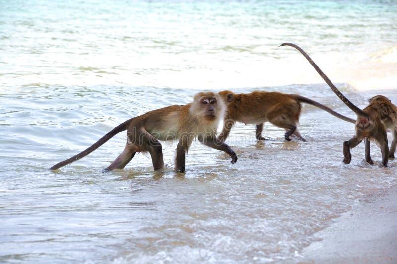 Scimmia ed il gruppo immagini stock
