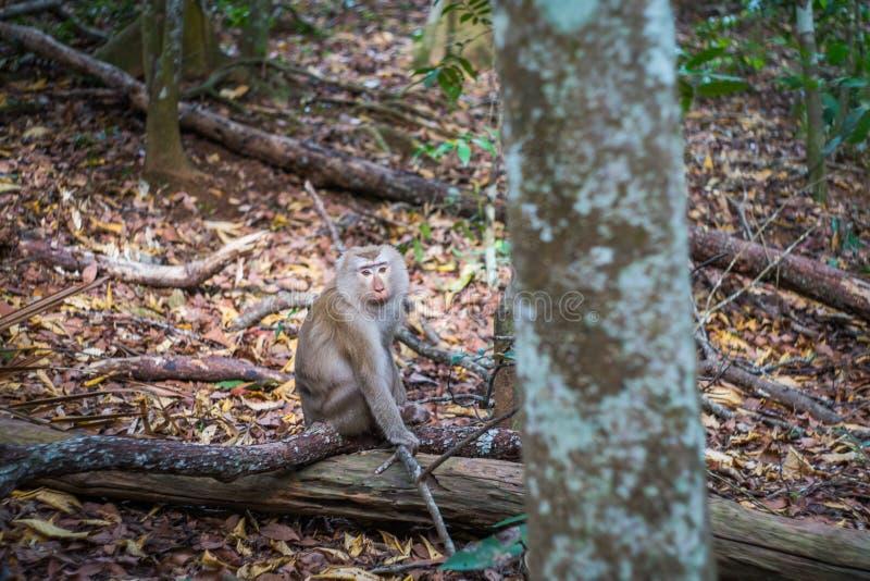 Scimmia felice della giungla nel parco nazionale di Khao Yai, Tailandia immagine stock