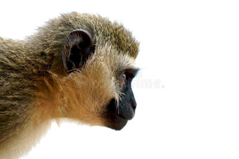 Scimmia fissare. fotografia stock libera da diritti