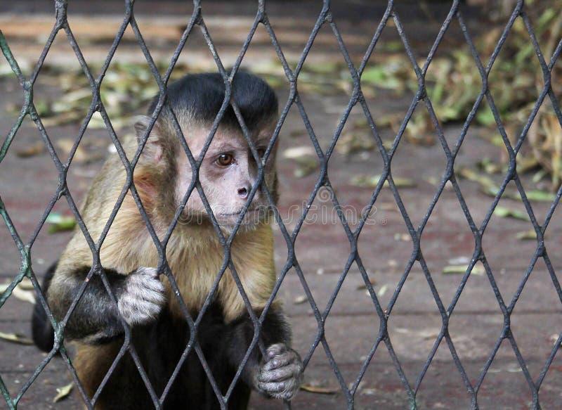 Scimmia in gabbia fotografie stock libere da diritti