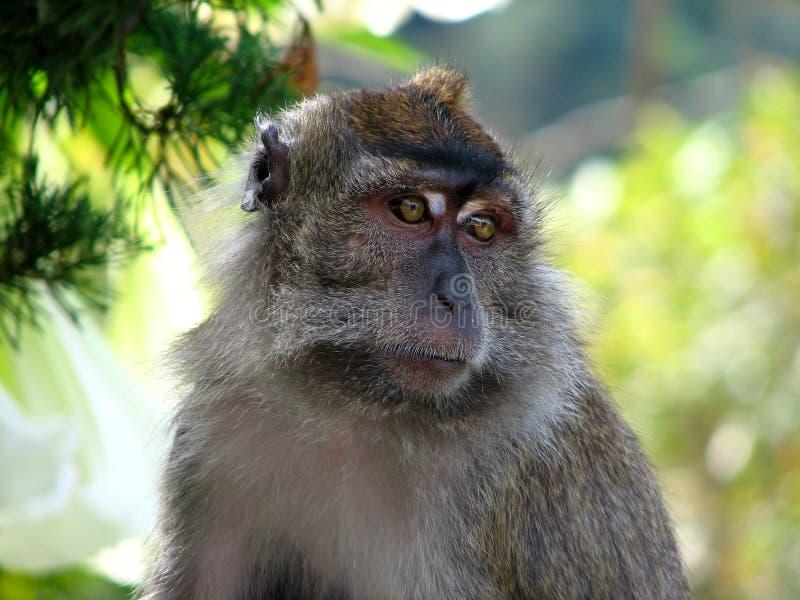 Scimmia in giungla fotografie stock