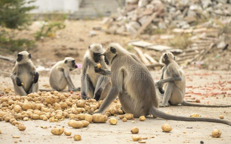 Scimmia indiana fotografie stock