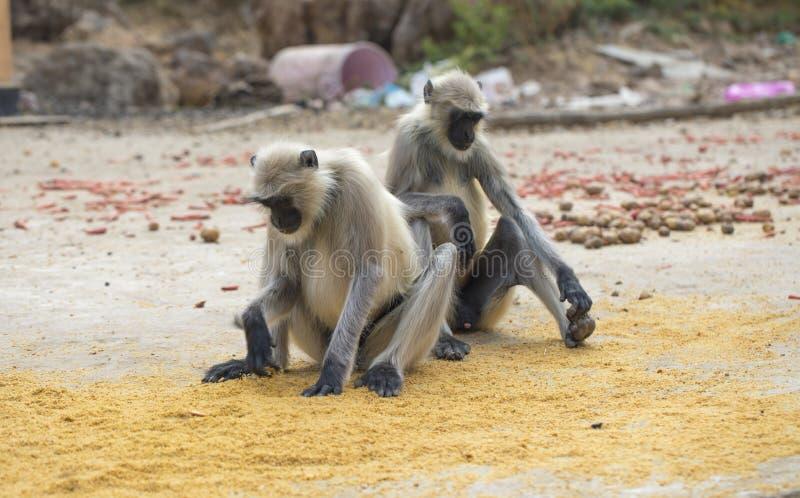 Scimmia indiana fotografia stock