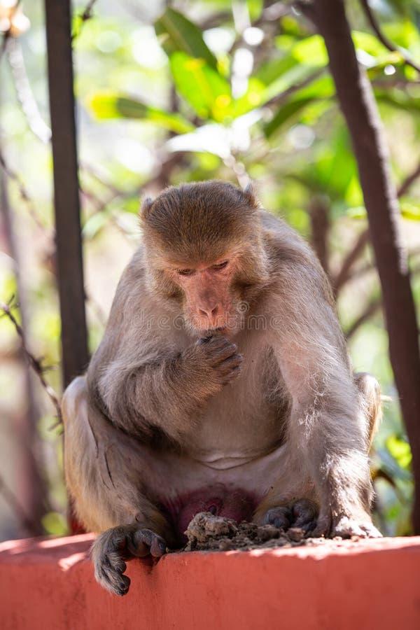 Scimmia indiana che si siede sull'per recintare Rishikesh immagini stock