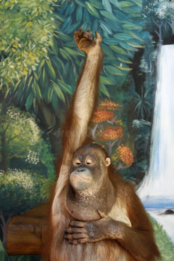 Scimmia intelligente fotografia stock libera da diritti