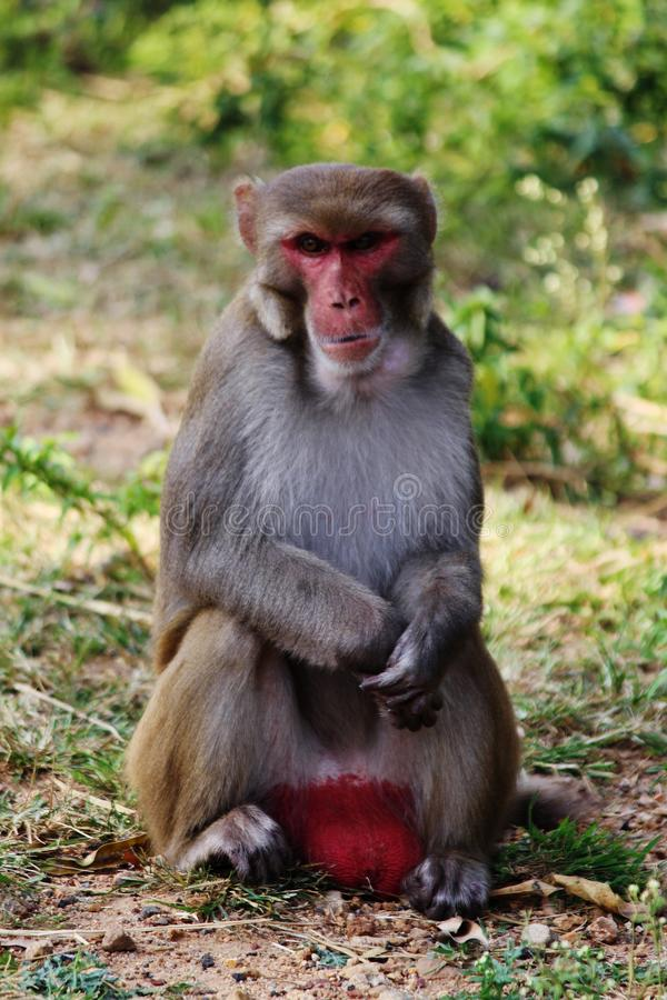 Scimmia maschio, mulatta-PS del Macaca, Haidarabad, Telangana, India fotografia stock libera da diritti