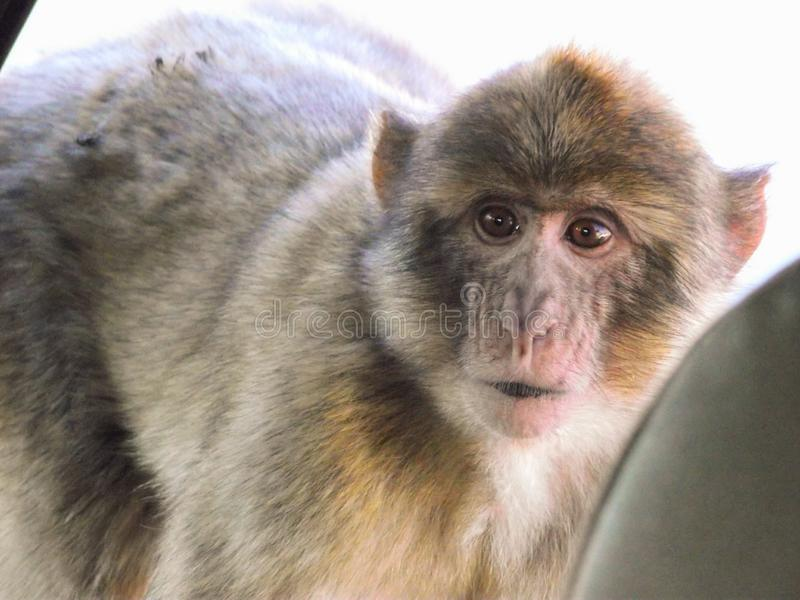 Scimmia messa a fuoco che esamina dovunque - sovraesposto immagine stock