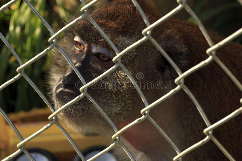 Scimmia messa in gabbia fotografia stock libera da diritti