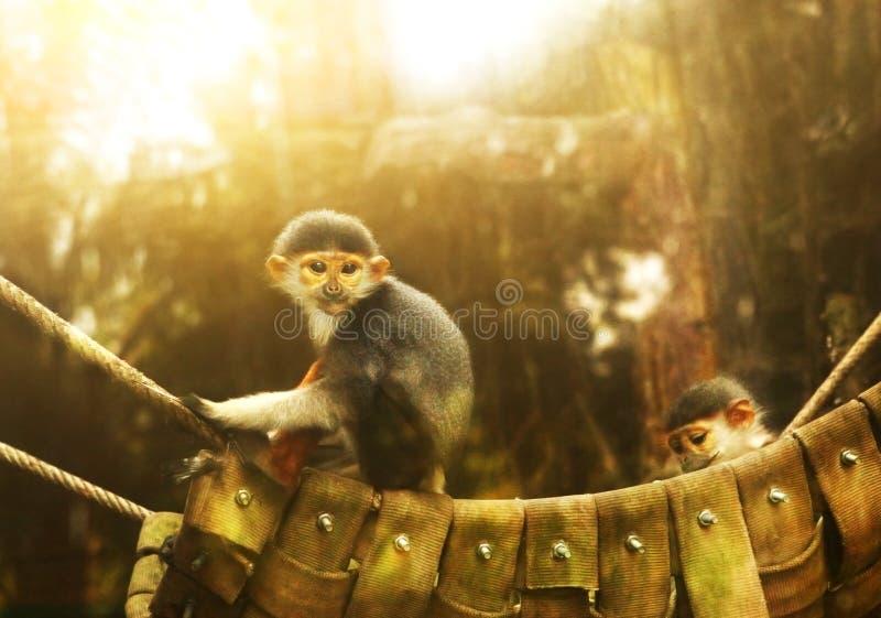 Scimmia nella fine dello zoo sulla foto immagini stock libere da diritti