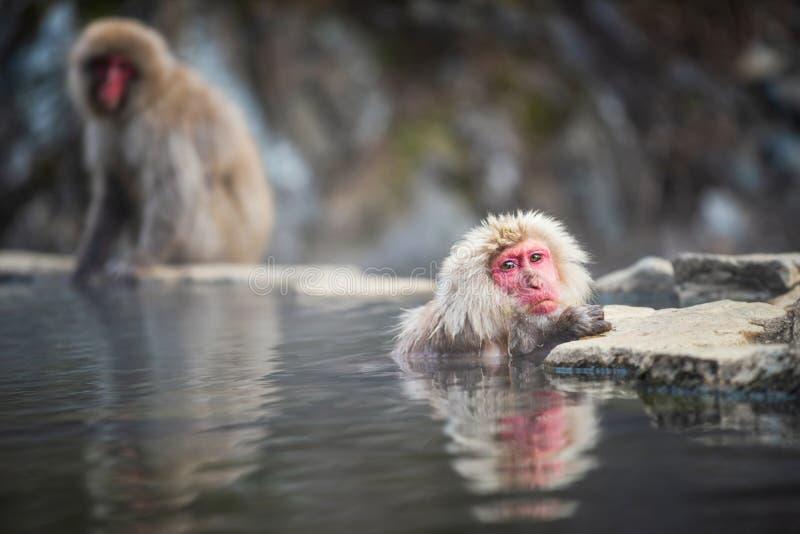 scimmia nella sorgente di acqua calda Onsen, Giappone fotografia stock