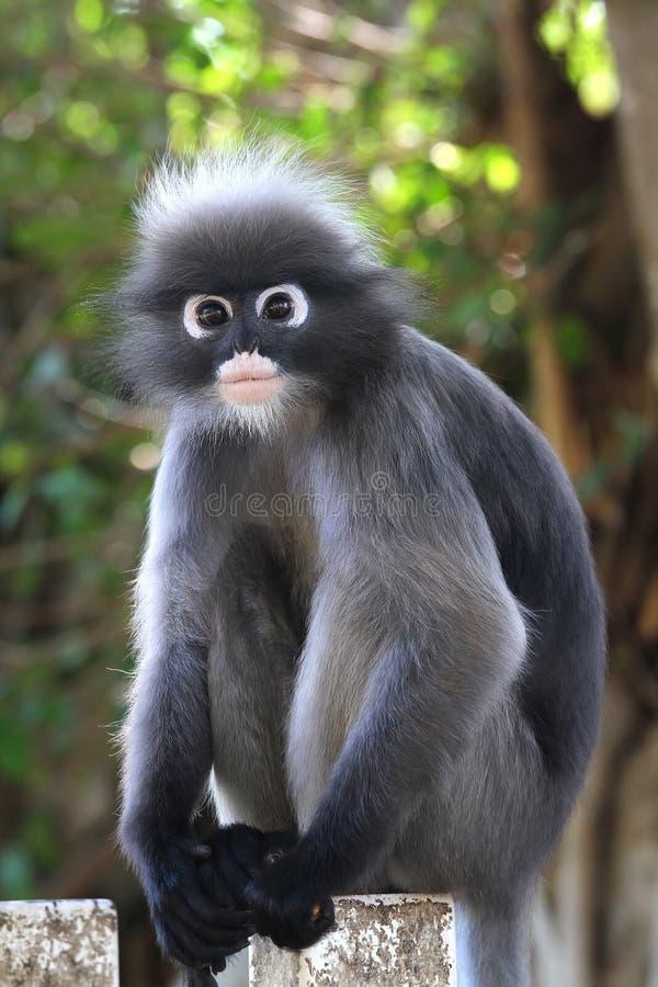 Scimmia oscura del foglio immagini stock